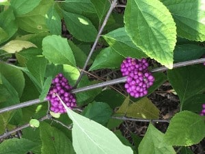 Picture of purple beauty berries